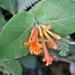 Lonicera ciliosa - Photo (c) Roger Steeb, todos los derechos reservados, uploaded by manzanita-pct