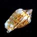 Maculastrombus maculatus - Photo (c) Javier Sellanes Lopez, כל הזכויות שמורות