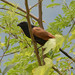 Lesser Coucal - Photo (c) WK Cheng, some rights reserved (CC BY-NC-SA)