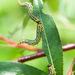 Nematus papillosus - Photo (c) Tig, all rights reserved
