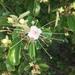 Quadrella jamaicensis - Photo (c) iluvmynemo411, all rights reserved