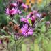Vernonia noveboracensis - Photo (c) Nolan Shigley, todos los derechos reservados
