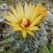 Grooved Nipple Cactus - Photo (c) Jeff Quayle, all rights reserved