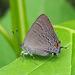 Satyrium calanus - Photo (c) Randy Emmitt, todos los derechos reservados