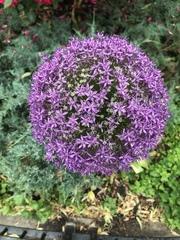 Allium giganteum image
