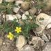 Sibbaldianthe bifurca - Photo (c) jpaule, todos los derechos reservados