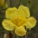 Aureolaria pectinata - Photo (c) Jason Sharp, όλα τα δικαιώματα διατηρούνται, uploaded by SharpJ99