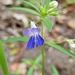 Giant Blue-eyed Mary - Photo (c) Alexander Rash, all rights reserved