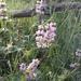 Phlomis tuberosa - Photo (c) paatrick95, all rights reserved
