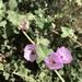 Malva de Chaparral - Photo (c) brucesmith, todos los derechos reservados