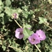 Chaparral Bush-Mallow - Photo (c) brucesmith, all rights reserved