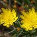 Scorzonera angustifolia - Photo (c) Valter Jacinto, todos los derechos reservados