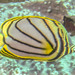 Meyer's Butterflyfish - Photo (c) Lesley Clements, all rights reserved