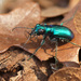 Cicindela scutellaris rugata - Photo (c) mattbuckingham, כל הזכויות שמורות