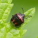 Twice-stabbed Stink Bug - Photo (c) Scott King, all rights reserved