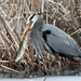 Great Herons - Photo (c) dgimler, all rights reserved