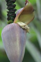 Musa acuminata image