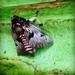 Megalopyge lanata - Photo (c) foxy80, כל הזכויות שמורות