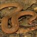 Storeria occipitomaculata obscura - Photo (c) mattbuckingham, todos los derechos reservados