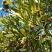 Kageneckia angustifolia - Photo (c) Javier Conejeros Gastó, כל הזכויות שמורות