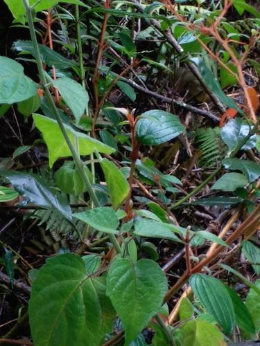 Parietaria officinalis image
