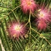 Acacias, Mimosas, Mesquites, and Allies - Photo (c) Suzie Engelhardt, all rights reserved