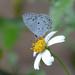 Acytolepis puspa myla - Photo (c) WK Cheng, algunos derechos reservados (CC BY-NC-SA)