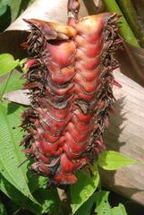 Heliconia mariae image