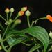 Besleria triflora - Photo (c) Damon Tighe, todos los derechos reservados