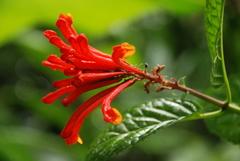 Scutellaria costaricana image