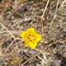Scyphanthus elegans - Photo (c) Javier Conejeros Gastó, todos los derechos reservados