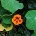 Tropaeolum - Photo (c) elizardpae, all rights reserved