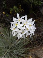 Leucocoryne ixioides - Photo (c) Javier Conejeros Gastó, todos los derechos reservados