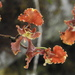 Cyrtochilum serratum - Photo (c) rudygelis, כל הזכויות שמורות