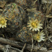 Silver Cluster Cactus - Photo (c) mattbuckingham, all rights reserved
