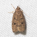 Dotted Leaftier Moth - Photo (c) Timothy Reichard, all rights reserved