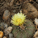 Falso Peyote - Photo (c) mattbuckingham, todos los derechos reservados