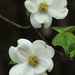 Flowering Dogwood - Photo (c) mattbuckingham, all rights reserved