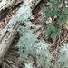 Artemisia austriaca - Photo (c) t0ntie, all rights reserved
