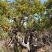 Schinus latifolia - Photo (c) Javier Conejeros Gastó, όλα τα δικαιώματα διατηρούνται