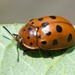 Argus Tortoise Beetle - Photo (c) Pop Charlie, all rights reserved