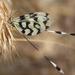 Nemoptera sinuata - Photo (c) artem, all rights reserved