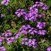 Glandularia aristigera - Photo (c) BJ Stacey, todos los derechos reservados