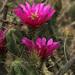 Echinocereus enneacanthus intermedius - Photo (c) mattbuckingham, all rights reserved
