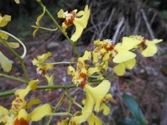 Image of Oncidium baueri