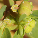 Geyer's Spurge - Photo (c) Nathan Taylor, all rights reserved