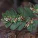 Euphorbia indivisa - Photo (c) Nathan Taylor, todos los derechos reservados