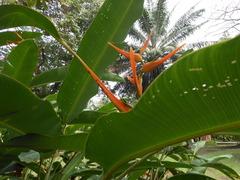 Image of Heliconia latispatha