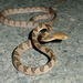 Kelung Cat Snake - Photo (c) Kun-hai Lin, all rights reserved