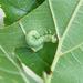 Hemichroa australis - Photo (c) Tig, todos los derechos reservados